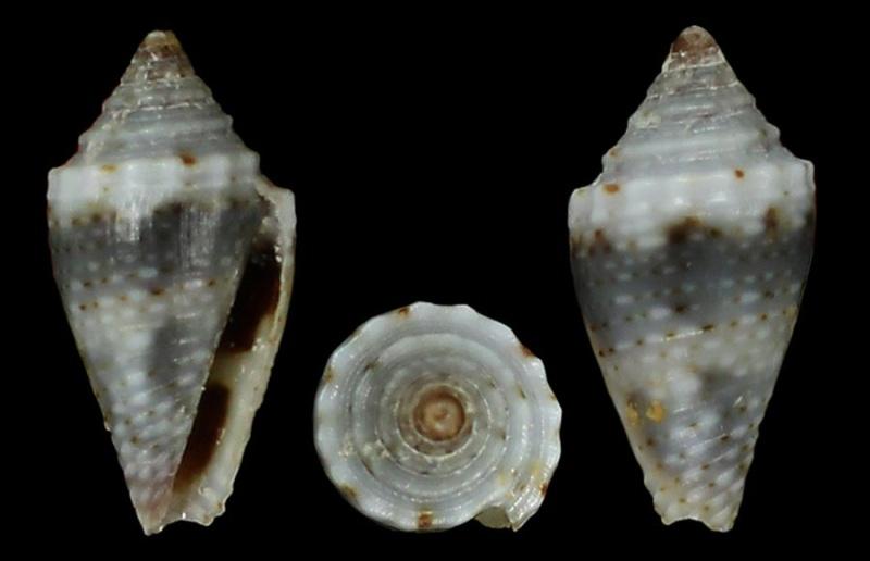 Pygmaeconus traillii (A. Adams, 1855)   Biragh10