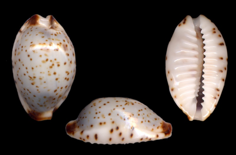 Bistolida owenii owenii - (J.E. Gray in G. B. Sowerby I, 1832) C_101_10