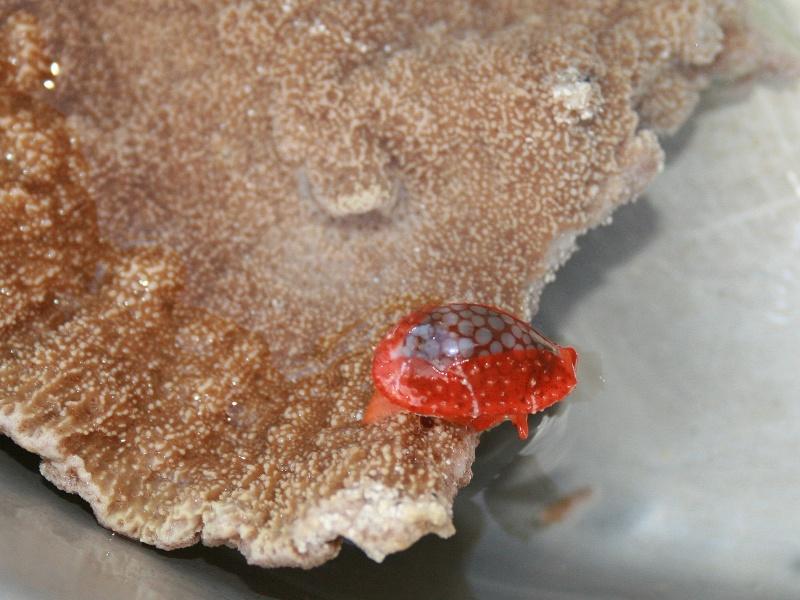 Cribrarula esontropia cribellum - (Gaskoin, 1849) - Live Cribel11