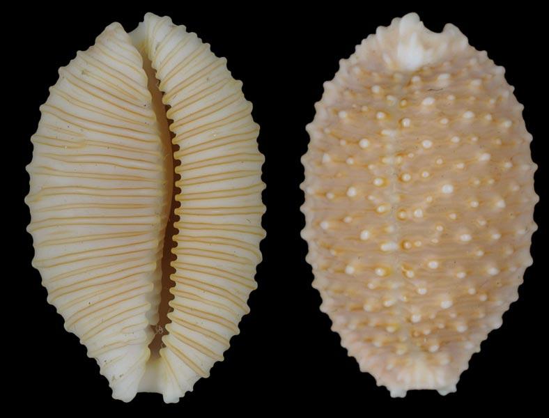 Nucleolaria granulata - (Pease, 1862) Cyp-gr10