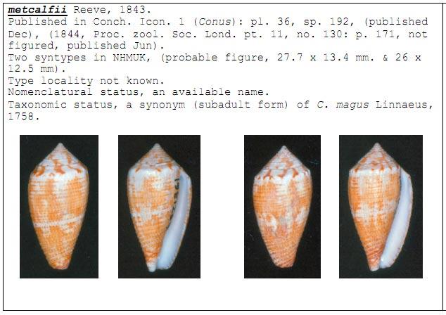 Conus (Pionoconus) metcalfii  Reeve, 1843 voir Conus (Pionoconus) magus Filmer10