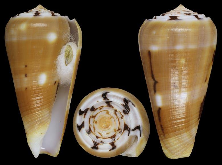 Conus (Pionoconus) pramparti  Leehman, 1976 voir  Conus (Pio.) gubernator Gubern10