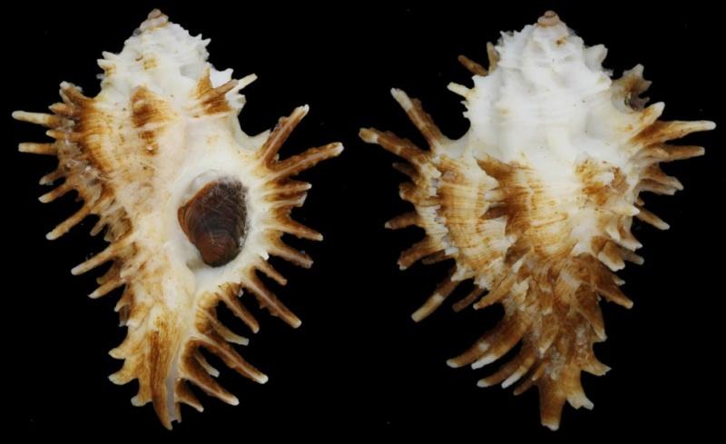 Homalocantha oxyacantha - (Broderip, 1833) Homalo10
