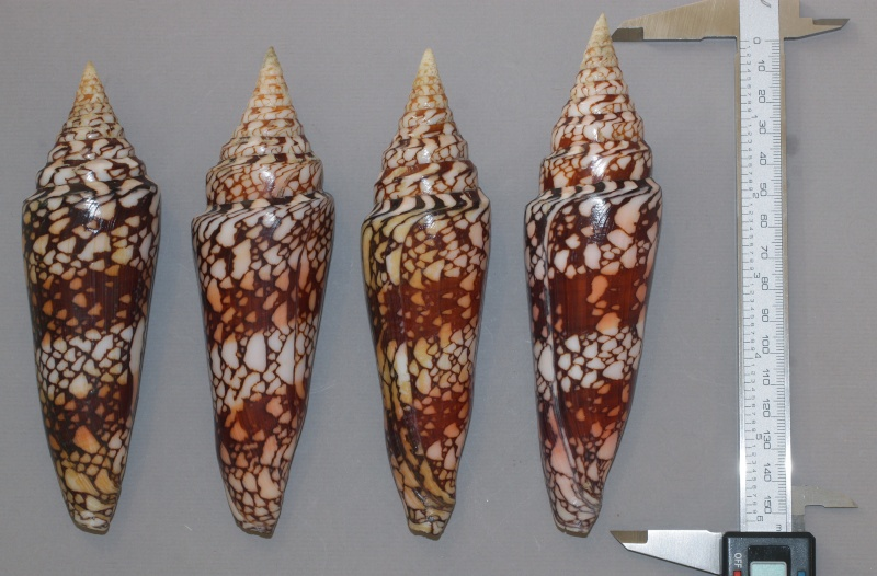 Conus (Leptoconus) milneedwardsi clytospira  Melvill & Standen, 1899 - Page 2 Img_1112