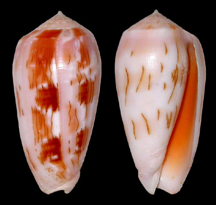 Conus (Textilia) julii   Lienard, 1870 Julii10