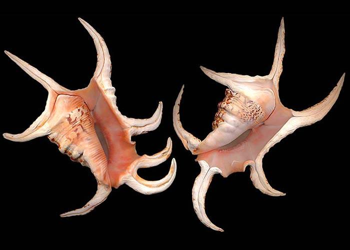 Lambis scorpius indomaris - Abbott, 1961 Lambis10