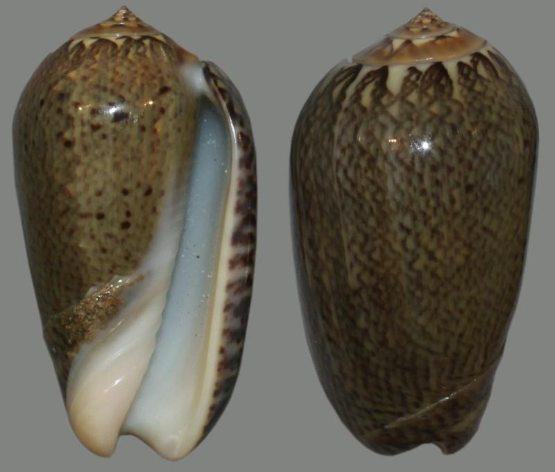 Americoliva polpasta (Duclos, 1833) Oliva-11