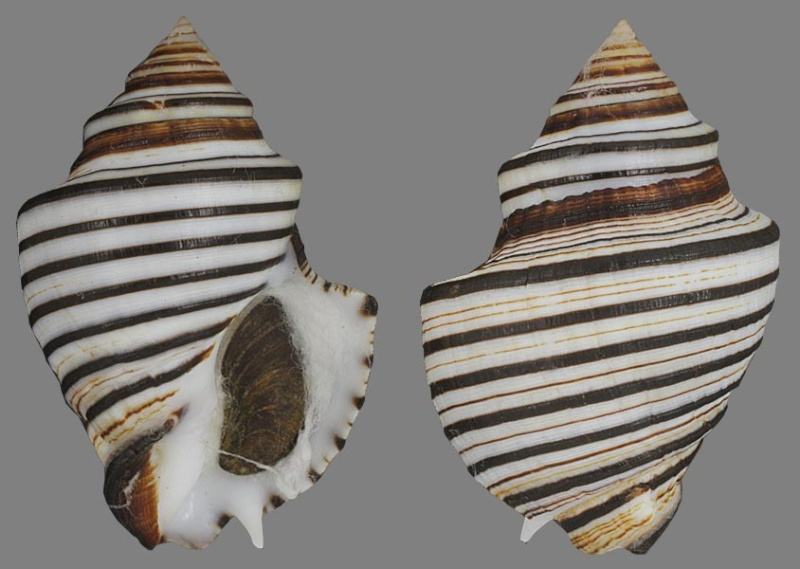 Opeatostoma pseudodon - (Burrow, 1815) Opeast10