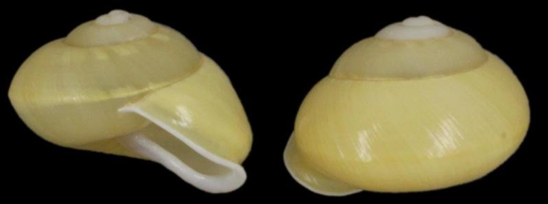 Papuina fringilla (Pfeiffer, 1855) Papuin10