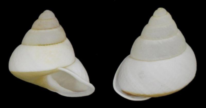 Papuina vexillaris (Pfeiffer, 1855) Papuin12