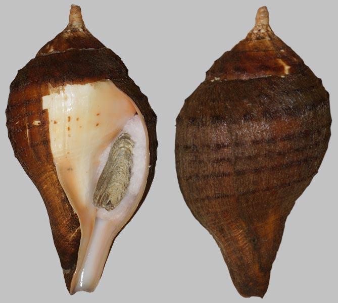 Turbinella pyrum - (Linnaeus, 1767) Turbin11