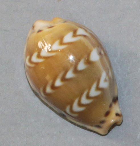 Palmadusta ziczac misella - (Perry, 1811) Ziczac10