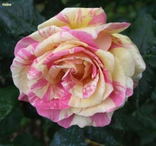 Les rosiers dans mon jardin .... 1110