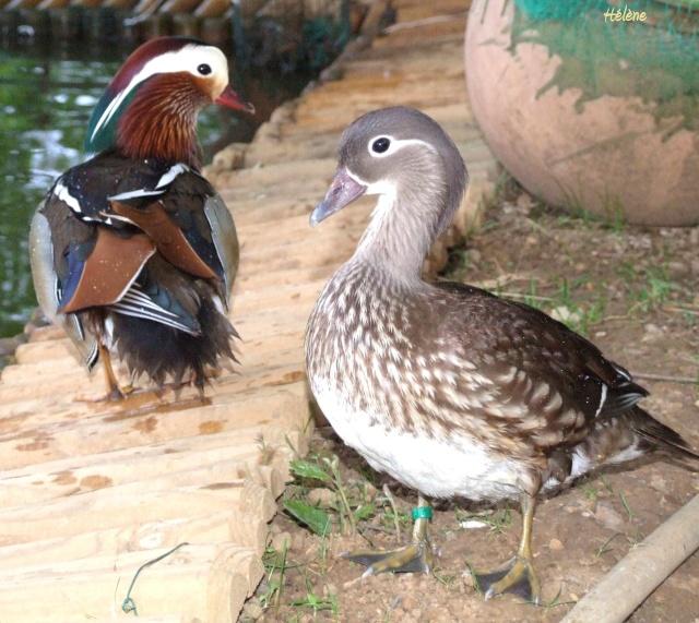 Roméo et Juliette,canards mandarins 12_mai16