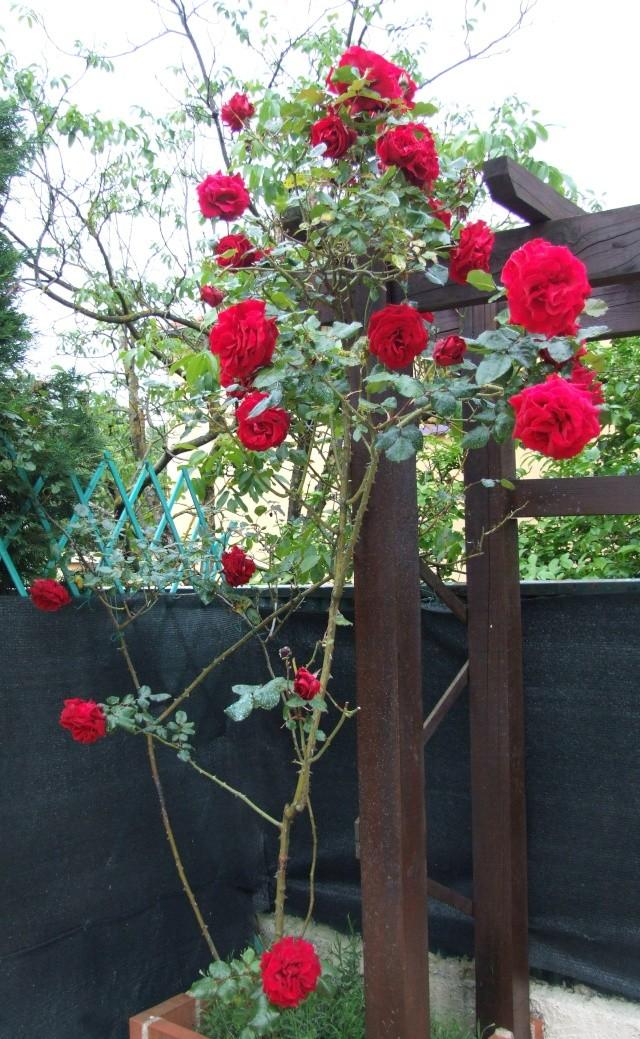 Les rosiers dans mon jardin .... 12_mai25