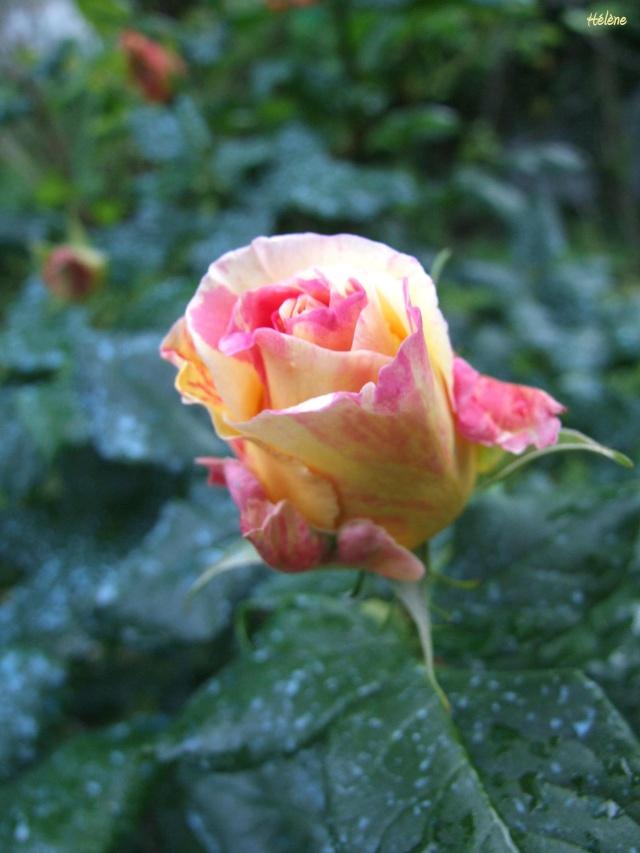 Les rosiers dans mon jardin .... 12_mai30