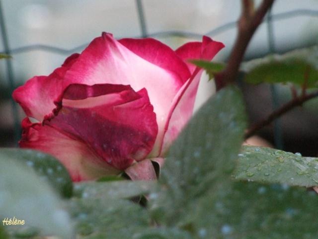 Les rosiers dans mon jardin .... 12_mai33