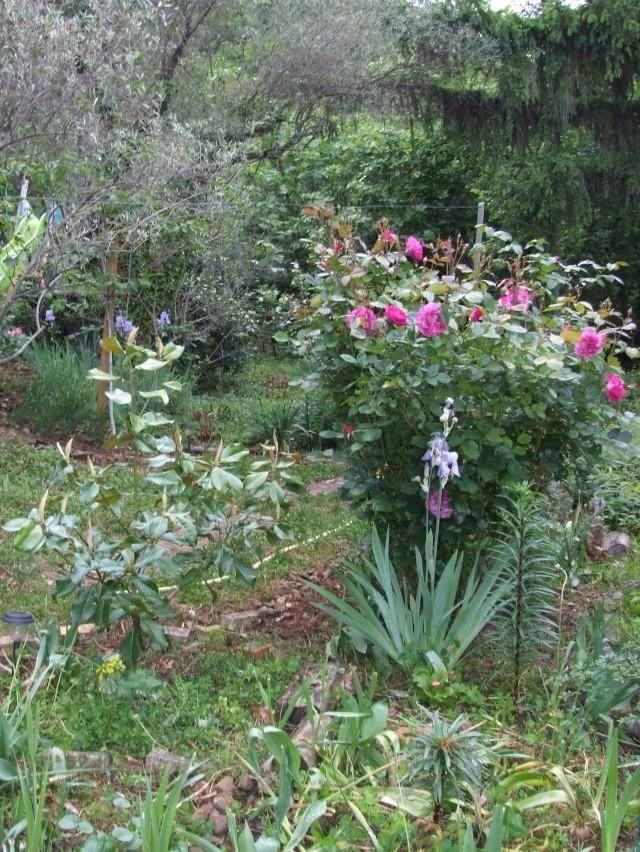 Les rosiers dans mon jardin .... 12_mai34