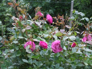 Les rosiers dans mon jardin .... 12_mai35
