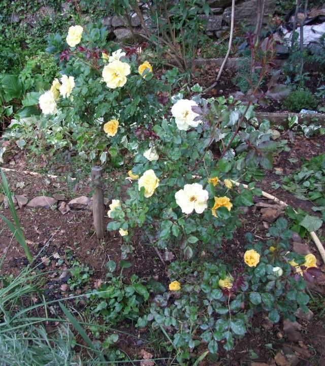 Les rosiers dans mon jardin .... 12_mai40