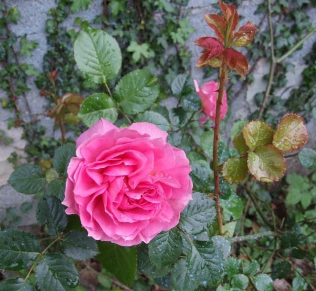 Les rosiers dans mon jardin .... 12_mai46
