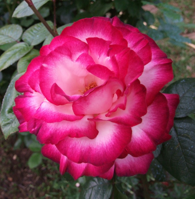 Les rosiers dans mon jardin .... 13_mai11