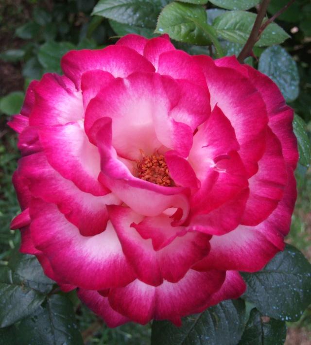 Les rosiers dans mon jardin .... 13_mai12
