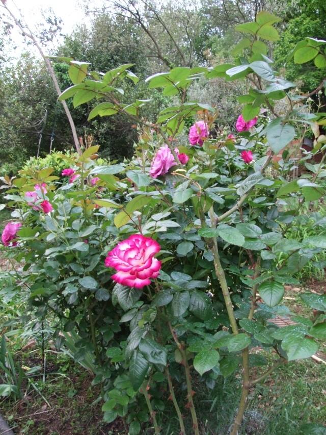 Les rosiers dans mon jardin .... 13_mai13