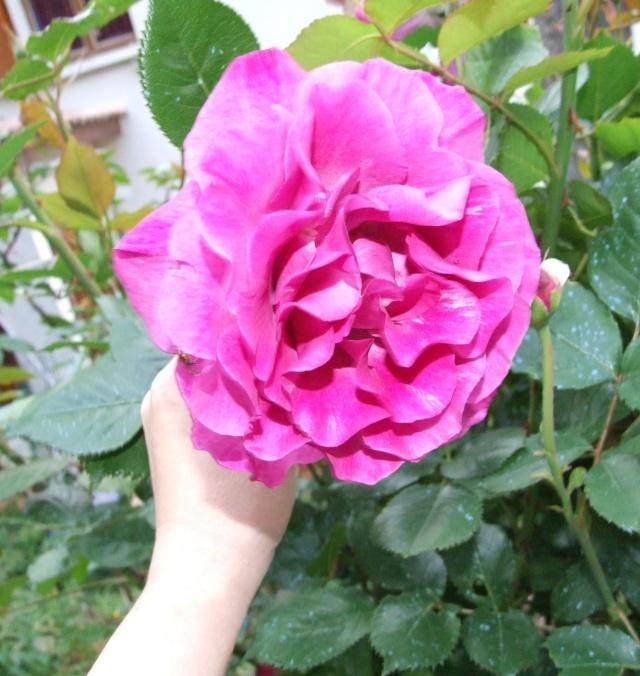 Les rosiers dans mon jardin .... 13_mai14