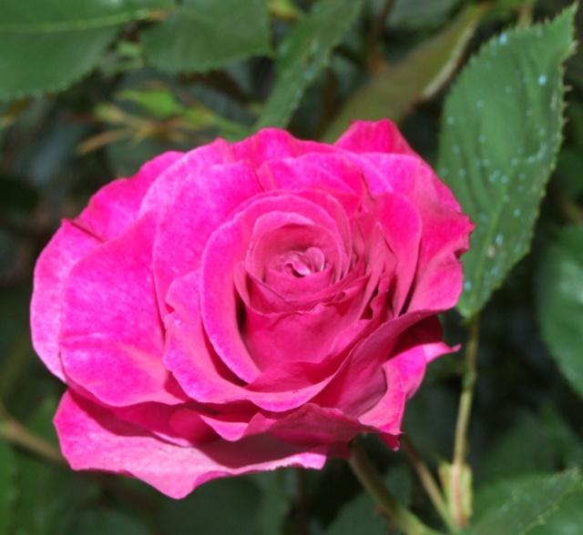 Les rosiers dans mon jardin .... 13_mai15