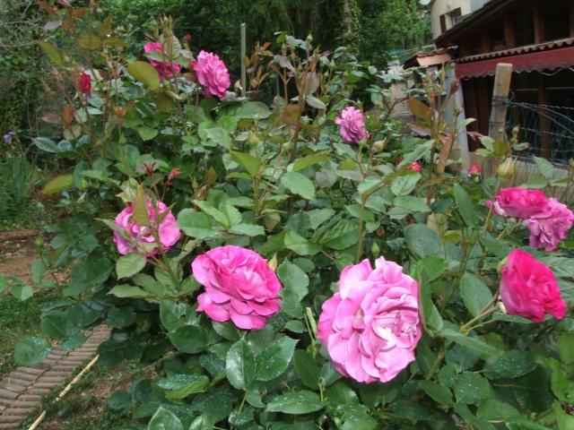 Les rosiers dans mon jardin .... 13_mai16