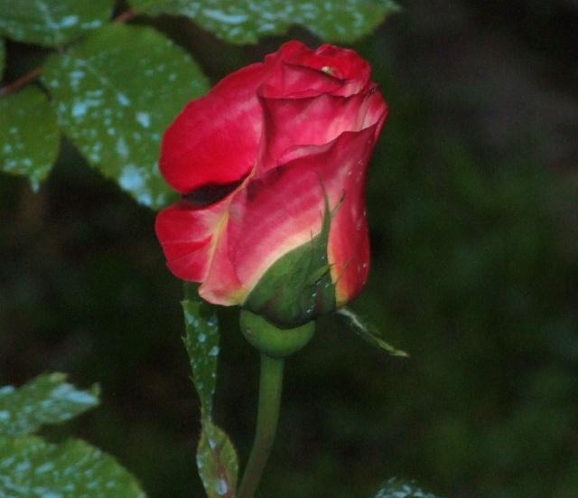 Les rosiers dans mon jardin .... 13_mai17