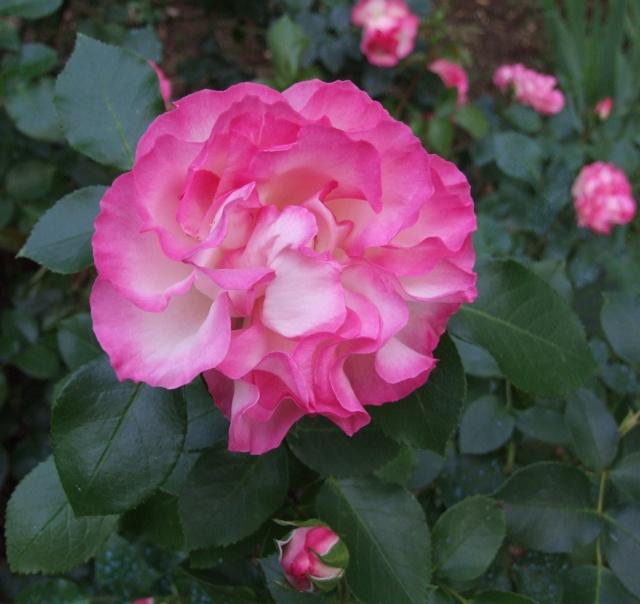 Les rosiers dans mon jardin .... 13_mai18