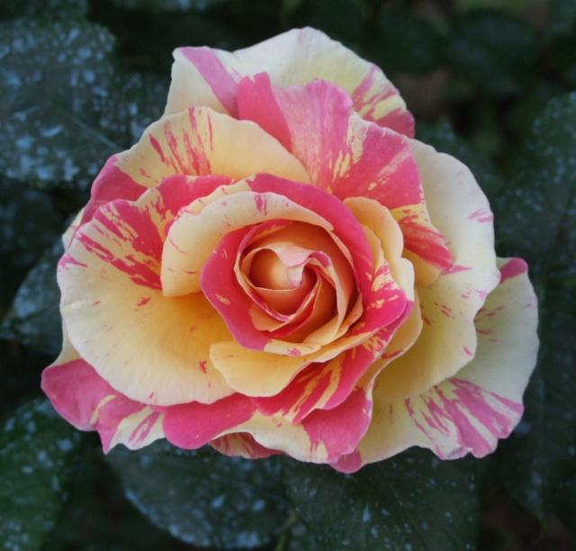 Les rosiers dans mon jardin .... 14_mai10