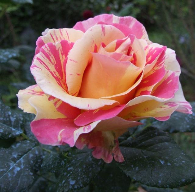 Les rosiers dans mon jardin .... 14_mai11