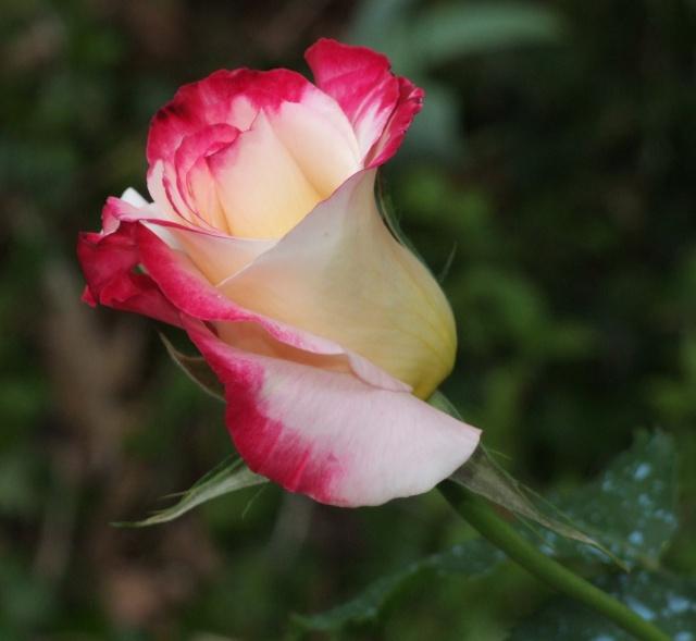 Les rosiers dans mon jardin .... 14_mai12