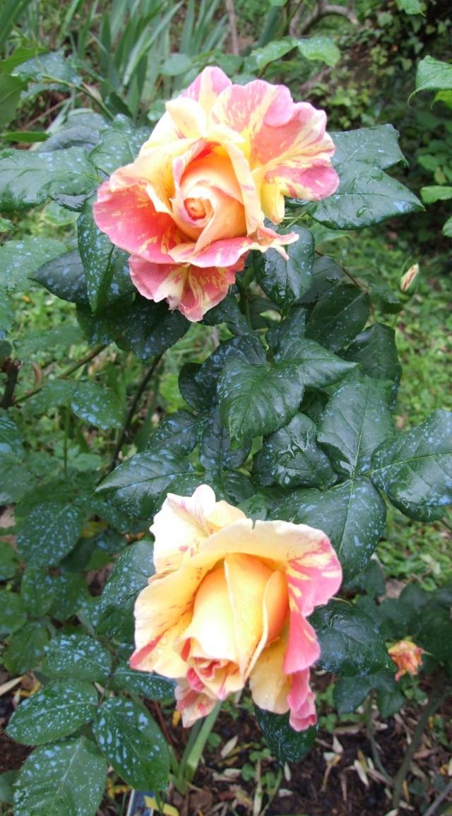 Les rosiers dans mon jardin .... 17mai_10
