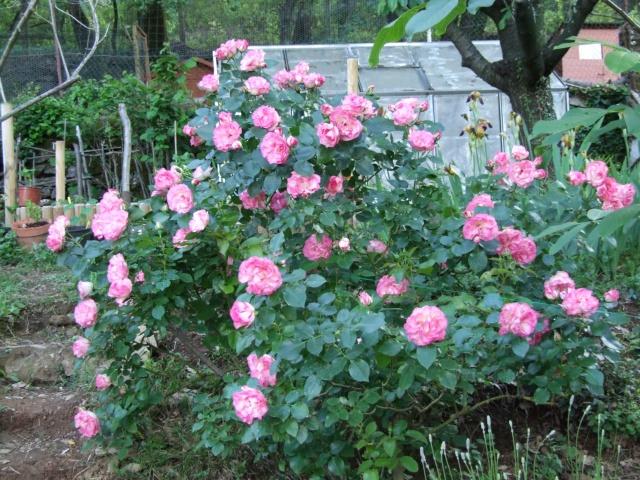 Les rosiers dans mon jardin .... 18_mai15