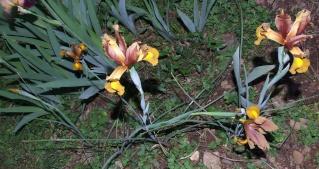 Iris de Hollande 18_mai21