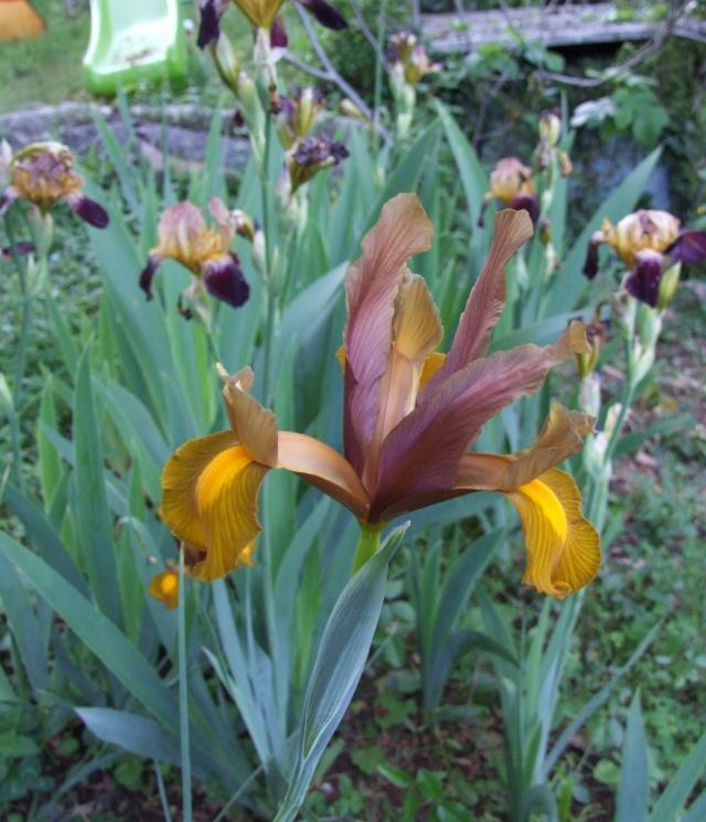 Iris de Hollande 18_mai23
