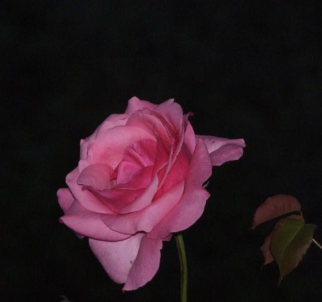 Les rosiers dans mon jardin .... 18_mai28