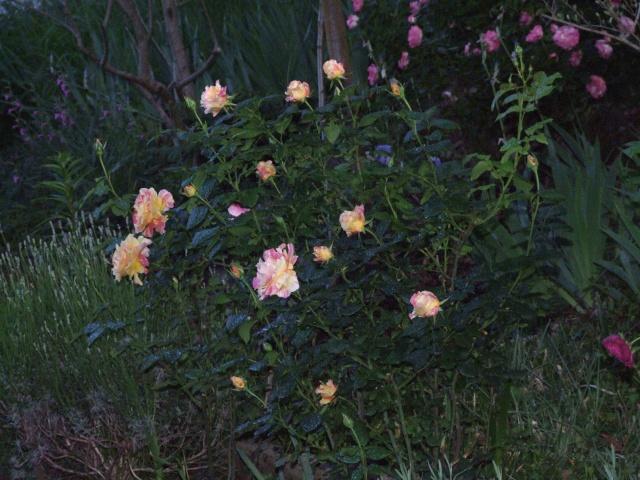 Les rosiers dans mon jardin .... 18_mai29