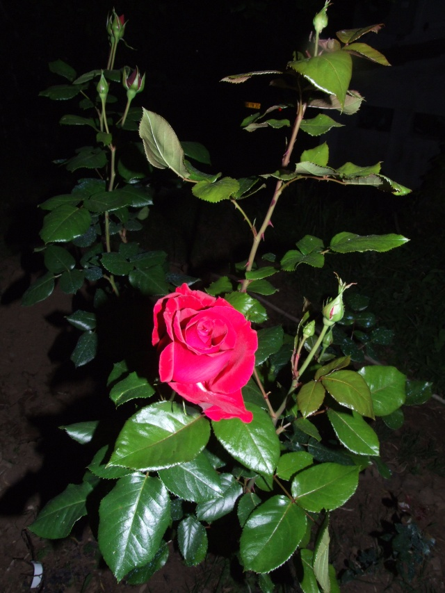 Les rosiers dans mon jardin .... 20_mai24