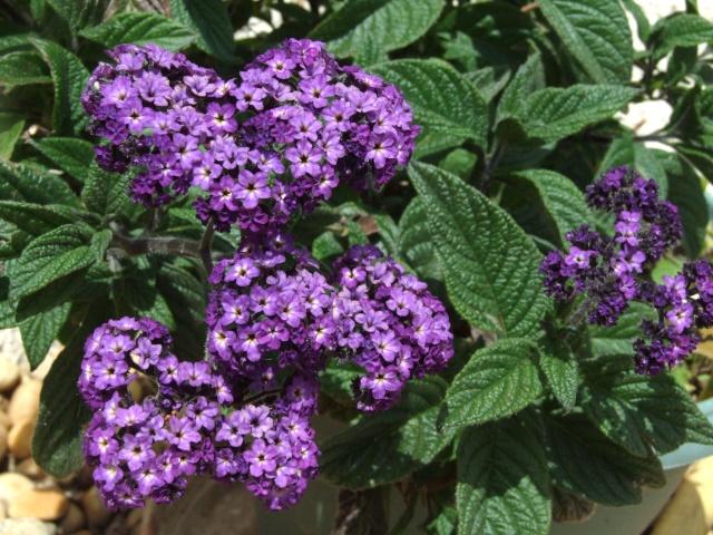 Heliotropium peruvianum 23_mai19