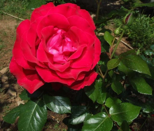 Les rosiers dans mon jardin .... 23_mai20