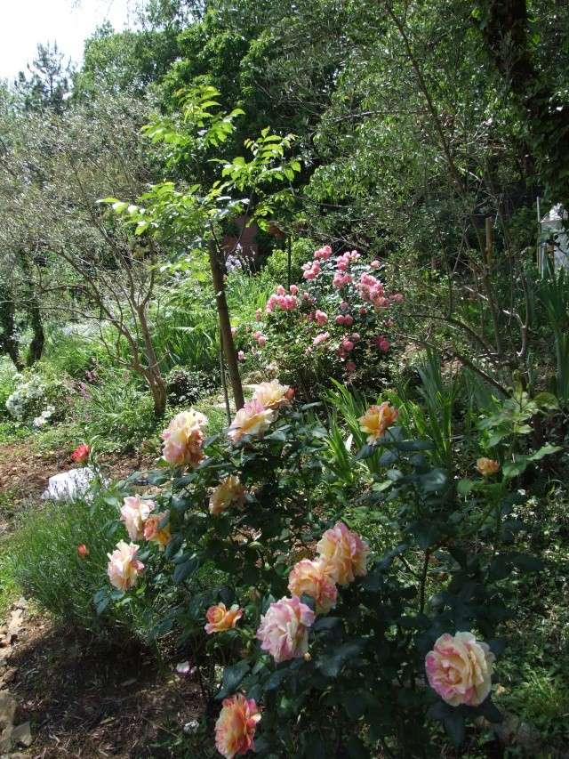 Les rosiers dans mon jardin .... 23_mai21