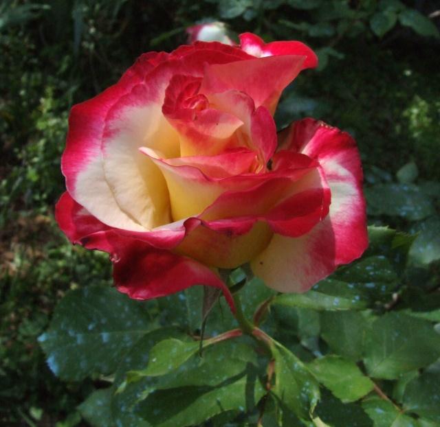 Les rosiers dans mon jardin .... 23_mai30