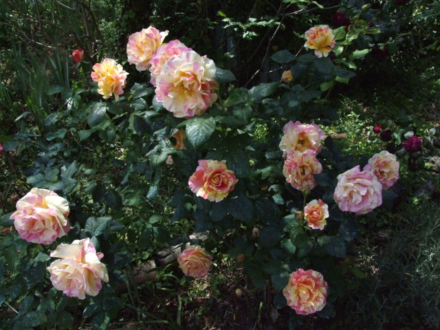 Les rosiers dans mon jardin .... 23_mai31