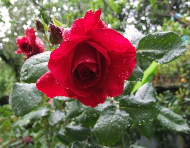 Les rosiers dans mon jardin .... 25_mai23