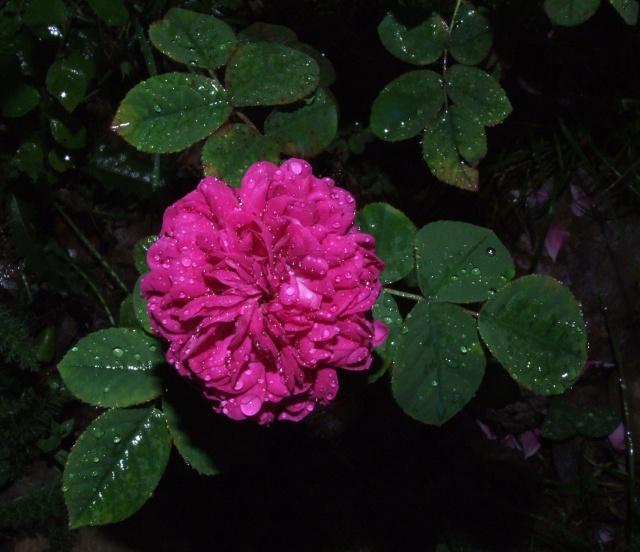 Les rosiers dans mon jardin .... 25_mai26
